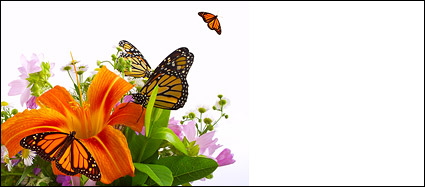 Butterfly und Lily Bildmaterial
